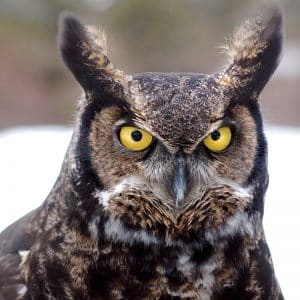 great-horned-owl-Migratory-birds-Assessments-Nest-Sweeps-Bird-Sweeps