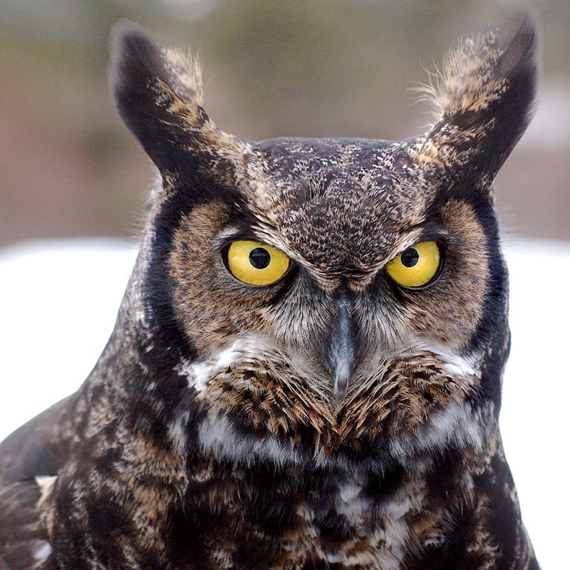 great-horned-owl-Migratory-birds-Assessments-Nest-Sweeps-Bird-Sweeps