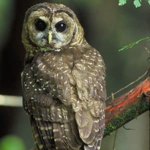spotted-owl-Migratory-birds-Assessments-Nest-Sweeps-Bird-Sweeps